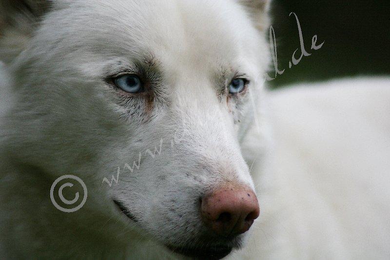 Husky5737.jpg