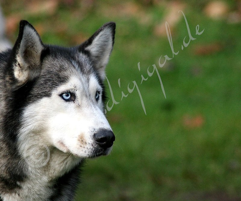 Husky-a-5650.jpg