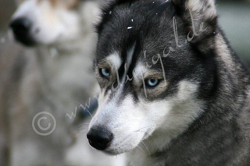 Siberian2106.jpg