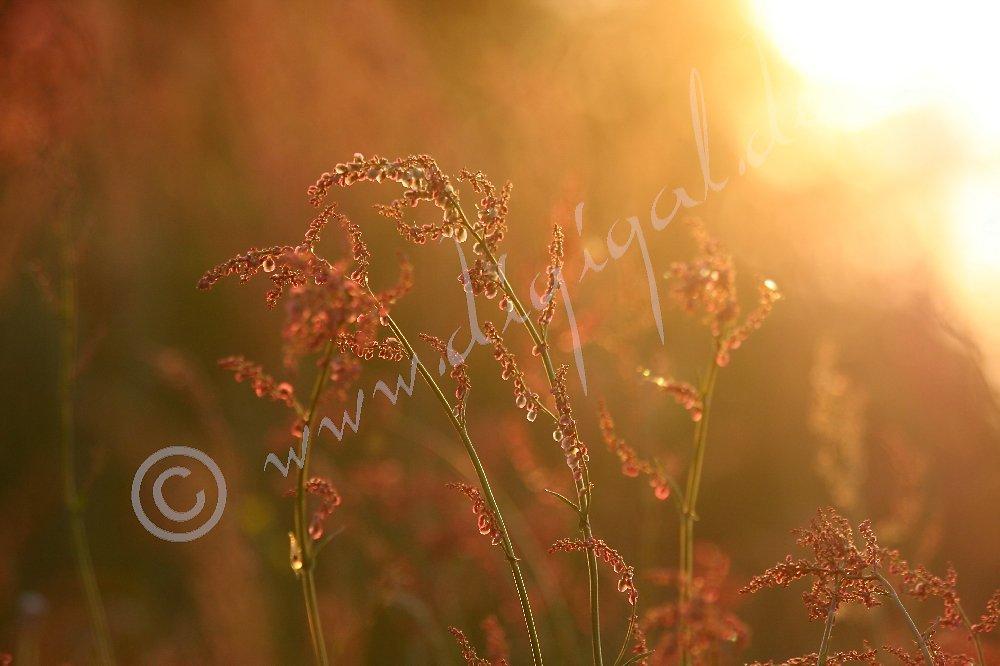 Sauerampferblüte zur goldenen Stunde