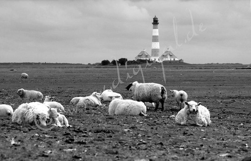 Schafe am Deich von Westerhever