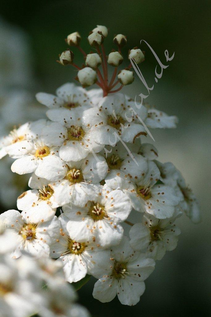 Blütenvielzahl