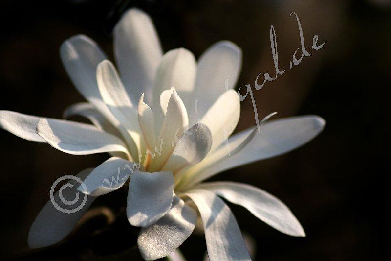 Blüte der Sternmagnolie