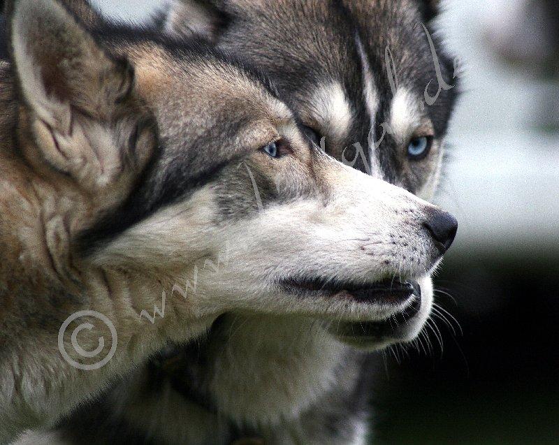 Bisschen Wolf