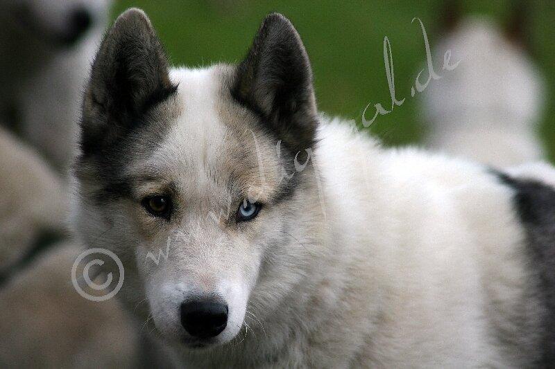 Husky5721.jpg