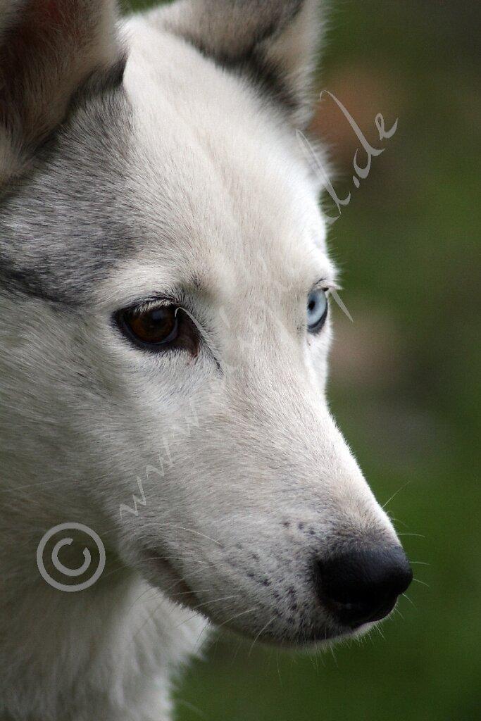 Husky6163.jpg