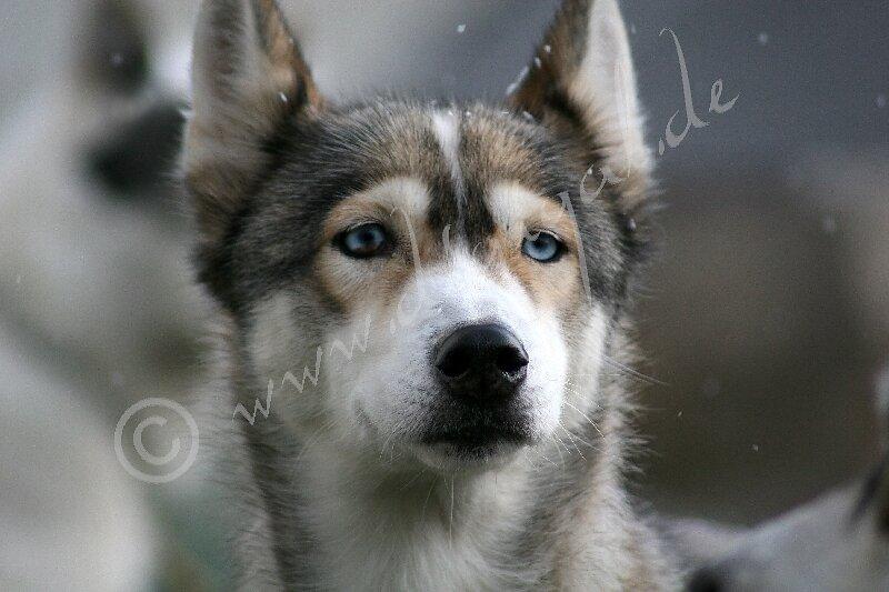 Siberian2113.jpg