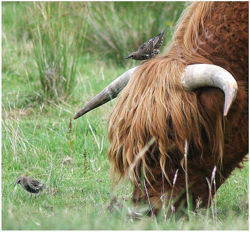 Galloway mit Vogel