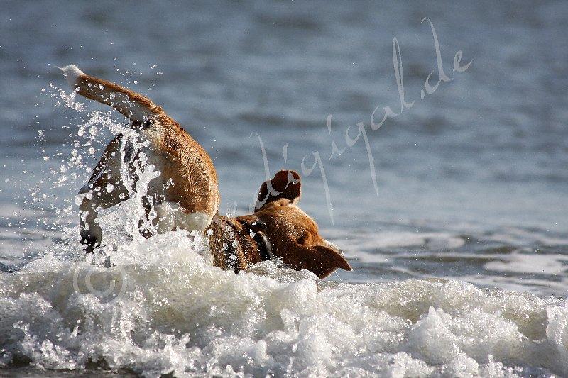 Unter Einsatz der vollen Körperbeherrschung wird die Beute im Wasser gesucht