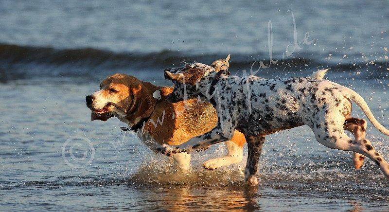 Ob der Beagle den Stock hergibt?
