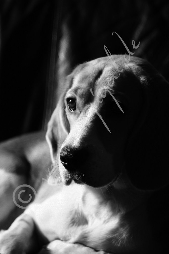 Miss Beagle