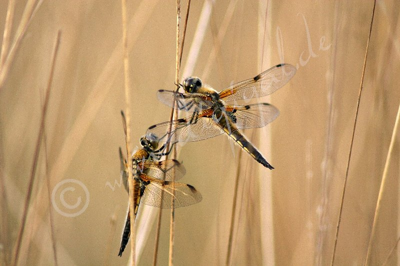 Vierfleck-Libellen