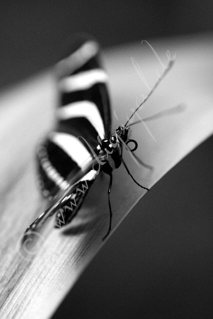 Zebrafalter